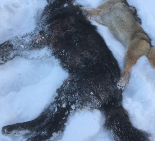 Wyoming Wolf Hunting Guide