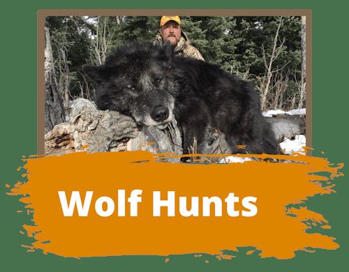Wolf Hunts Wyoming